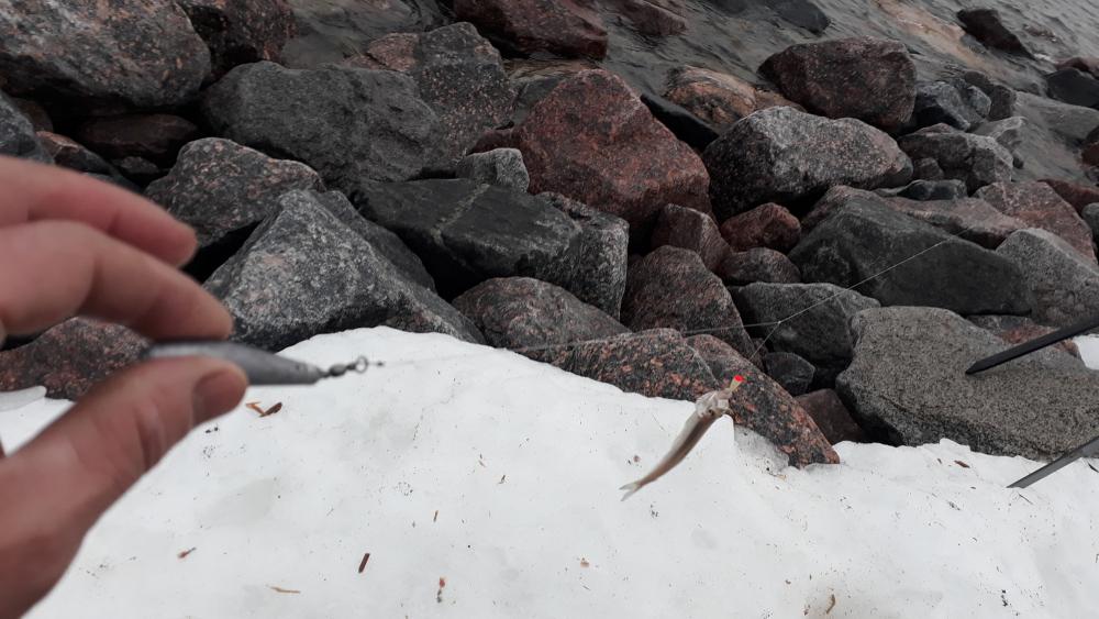 ловля красной рыбы на финском заливе
