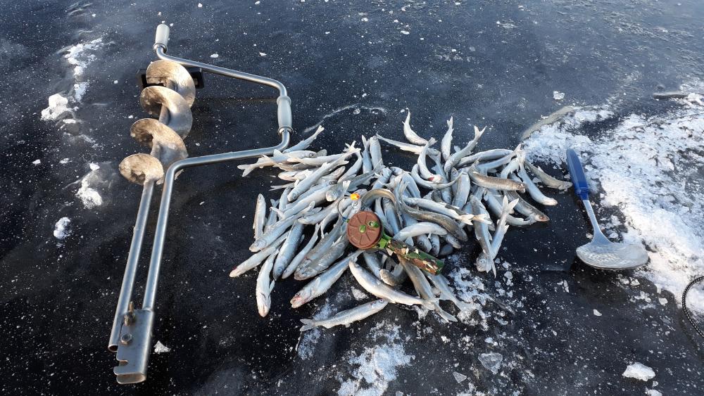 когда ловить судака на финском заливе